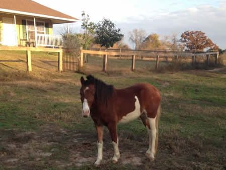 Offering this Rock E bred Country Pleasure driving gelding at a steal! And he is just getting started! Already in training for this show season! Offered by Mini Horse Sales