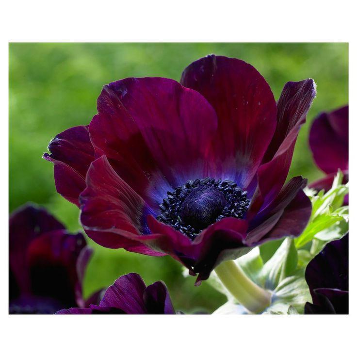 Wind Flowers - Anemones Meron Bordeaux - Set of 25 Bulbs - Van Zyverden