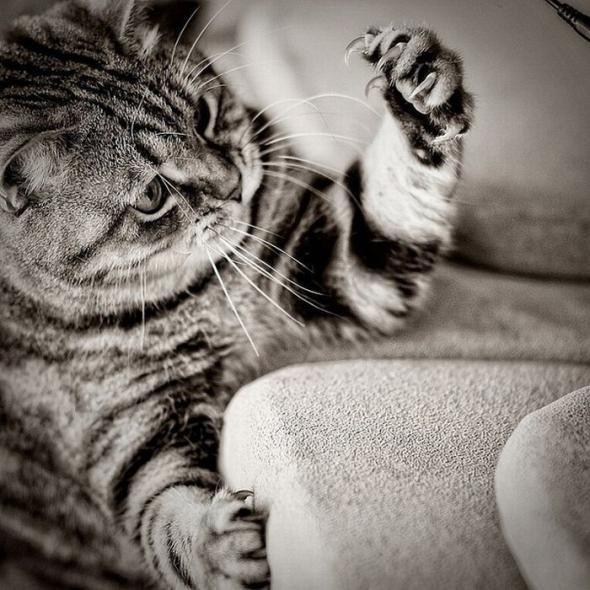 Wolverine, Kitty Cat, Couch, Funny Animal Pics, Crazy Cat, Nails, Kittens, Claw, Cat Photos