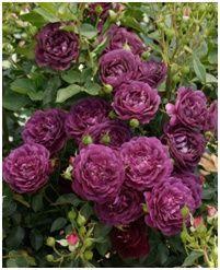 синяя роза Outta the Blue