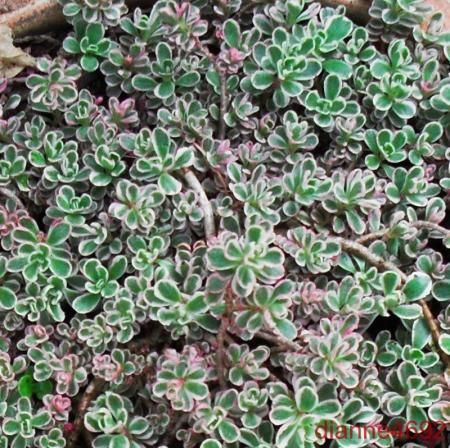 25 best ground cover images on pinterest ground covering for Perennial ground cover plants for sun