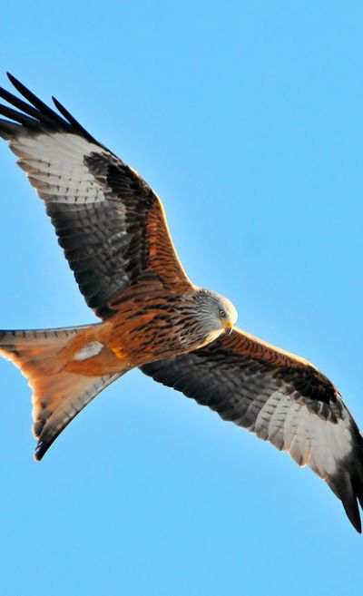 Red Kite... Otherwise known as killer eagles
