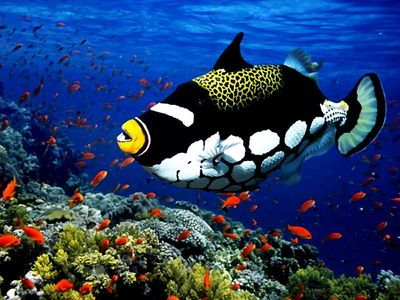 Triggerfish Triggerfishes are about 40 species of often brightly colored fishes of the family Balistidae. Often marked by lines and spots, they inhabit tropical and subtropical oceans throughout the world, with the greatest species richness in the Indo-Pacific.