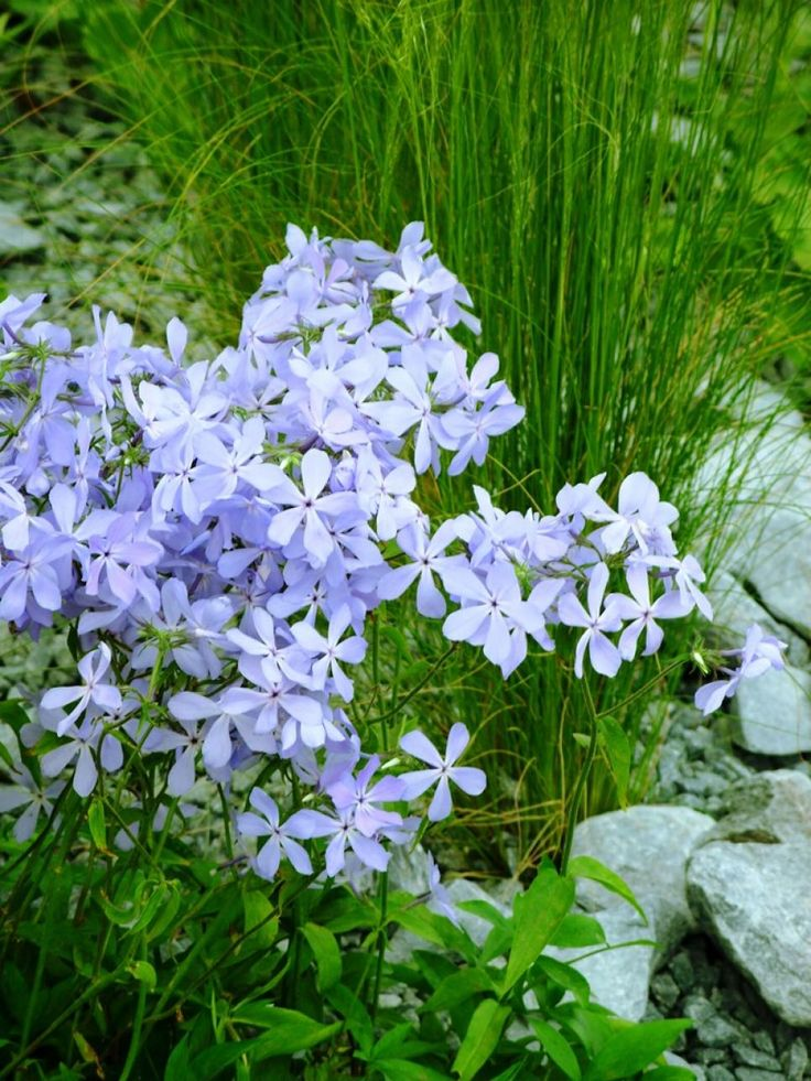 25 best ideas about Phlox flowers on Pinterest Creeping