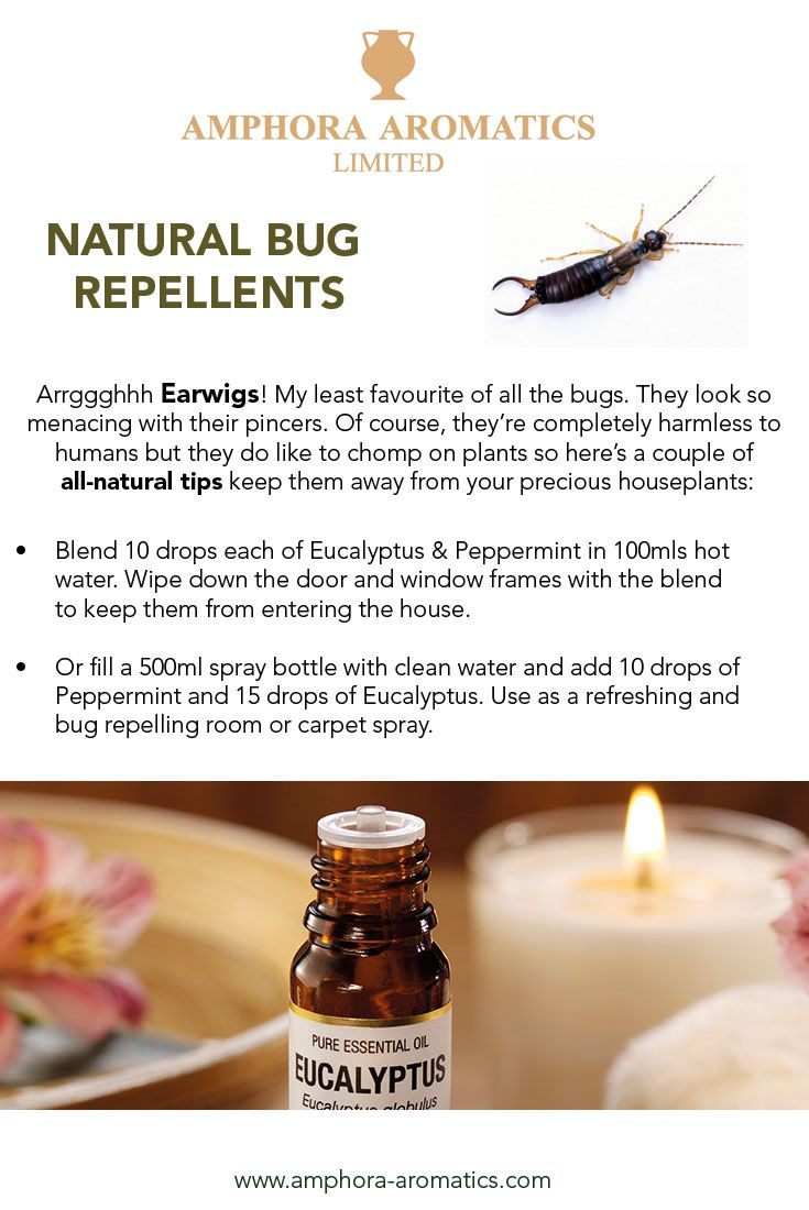 Our tips for today help to banish and repel Earwigs. Harmless to humans but big trouble for plants, they can be a real pain if they get indoors. They always seem to find your favourite plant don't they! Learn how to control them the natural way :)