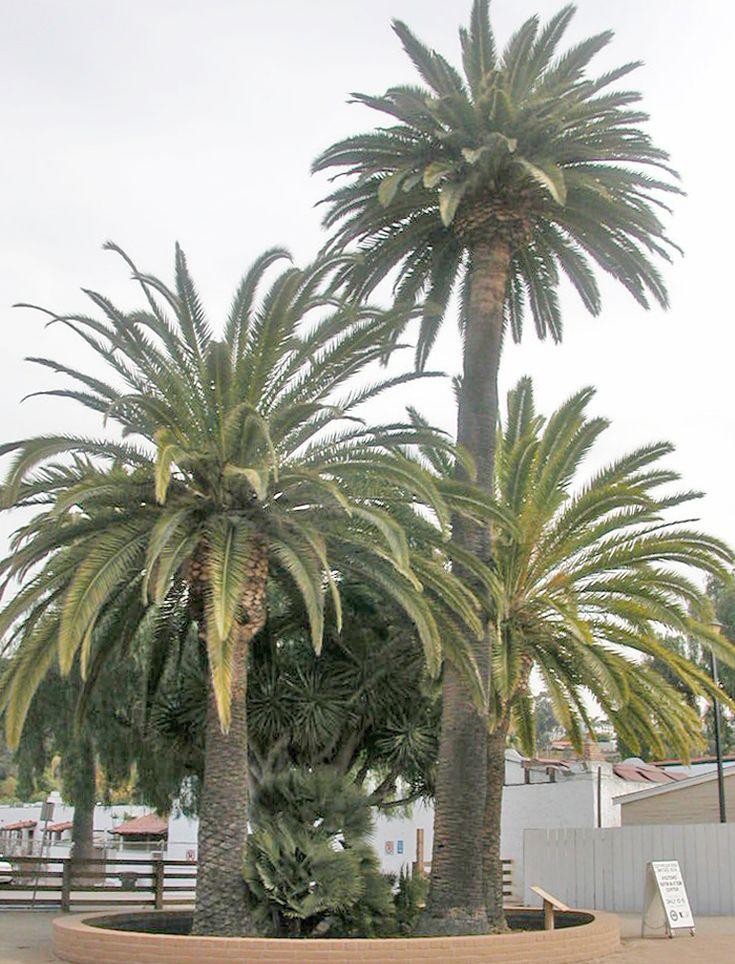 California Flirt