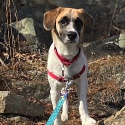 Potomac, Maryland - Parson Russell Terrier. Meet Buster, a for adoption. https://www.adoptapet.com/pet/20847176-potomac-maryland-parson-russell-terrier-mix