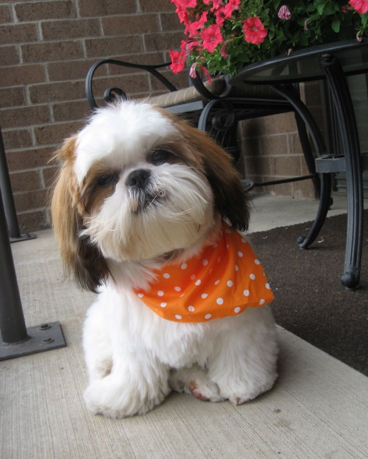 Shihtzu dog. The sweetest puppy on the planet - I have 6 each a different personality.  Precious!