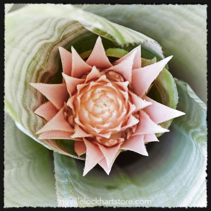 Urn Plant, Flowering, Pink, Aechmea Fasciata, Bromeliad, Silver Vase, Photo Art