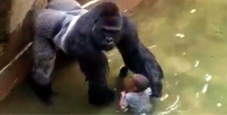 La tragédie du gorille abattu après la chute d'un enfant dans son enclos révèle l'absurdité des zoos