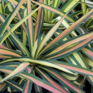 Yucca Color Guard. I have 8 of these in my gardens...beautiful year round!