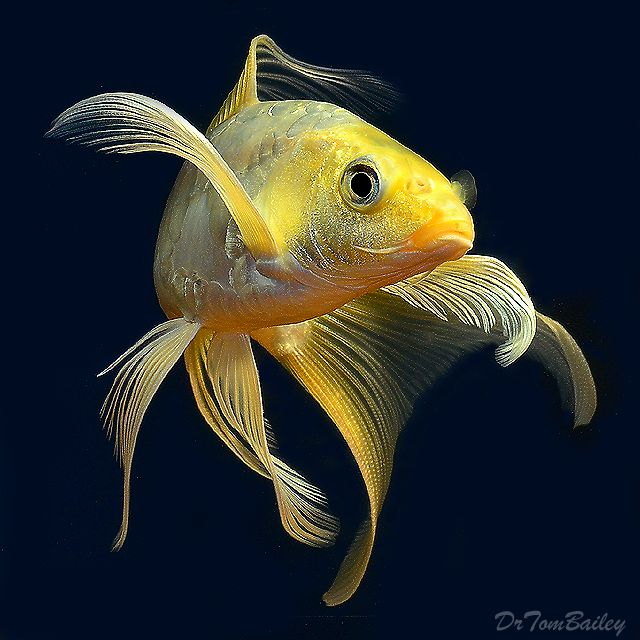 17 Best Images About Gold Fish On Pinterest Goldfish