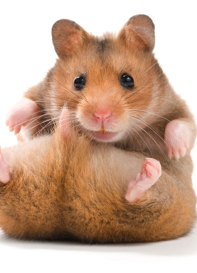 Animals Cute hamster names, Funny hamsters, Hamster names