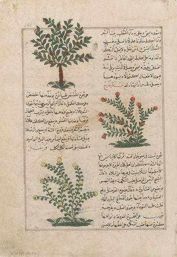 "Hazelnut (Funduq), Boxthorn or Elephant Gall (Filzahraj), and Clove (Qaranful); folio from a Aja'ib al-makhluqat (""Wonders of Creation"") by Muhammad al-Qazwini (b. Zakariya) c. 1203-1283) | early 15th century | Opaque watercolor, ink and gold on paper | Iraq or Eastern Turkey | Purchase | Freer Gallery of Art | F1954.78"