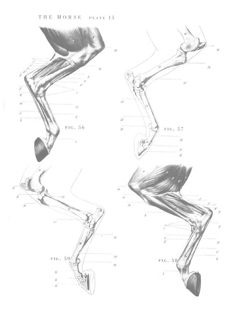 horse anatomy hind legs - Saunders Veterinary Anatomy Coloring Book