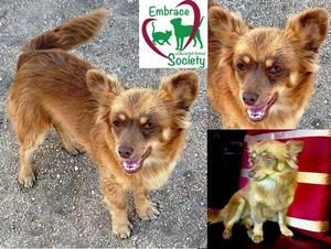 Webster is an adoptable Corgi Dog in Surrey, BC. I am Webster, an eight months healthy boy who is in foster care in Surrey.�� I�weigh nine pounds with a medium soft coat. I look like a little fox and ...