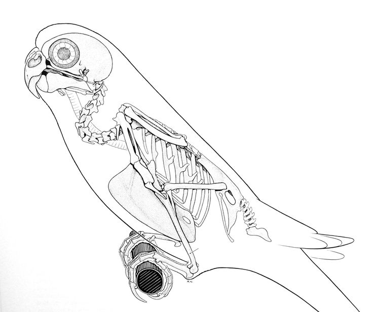 animal skeleton images | in most of the smaller birds like this budgie from