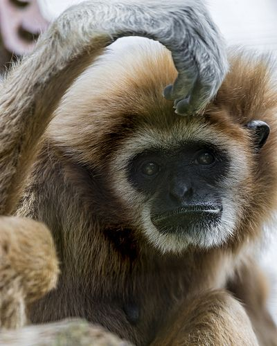 Gibbon with hand on the head - http://dailyfunnypets.com/pictures/dogs-pics/gibbon-with-hand-on-the-head/ - Gibbon with hand on the head  Image by Tambako the Jaguar The same one with a funny hand position! - Gibbon, hand, head