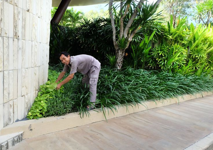 Our gardeners always look like the happiest people on the planet, and Mr. Sadra is no exception as he goes about doing some tree trimming!  #Sakalabali #Sakalaresort #Sakalabeachclub #thesakalaresortbali
