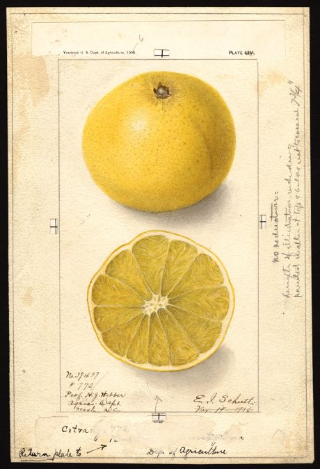 Schutt, Ellen Isham, 1873-1955  Scientific name:     Citroncirus webberi  Common name:     citranges  Variety:     Citrange