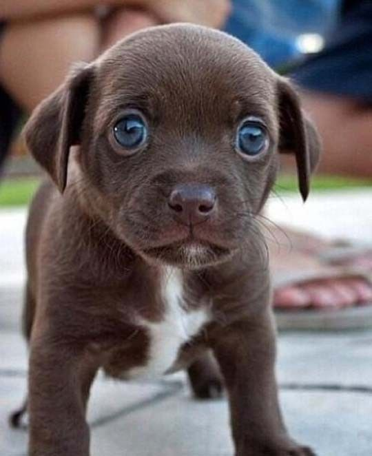 Huge Puppy Blue Eyes