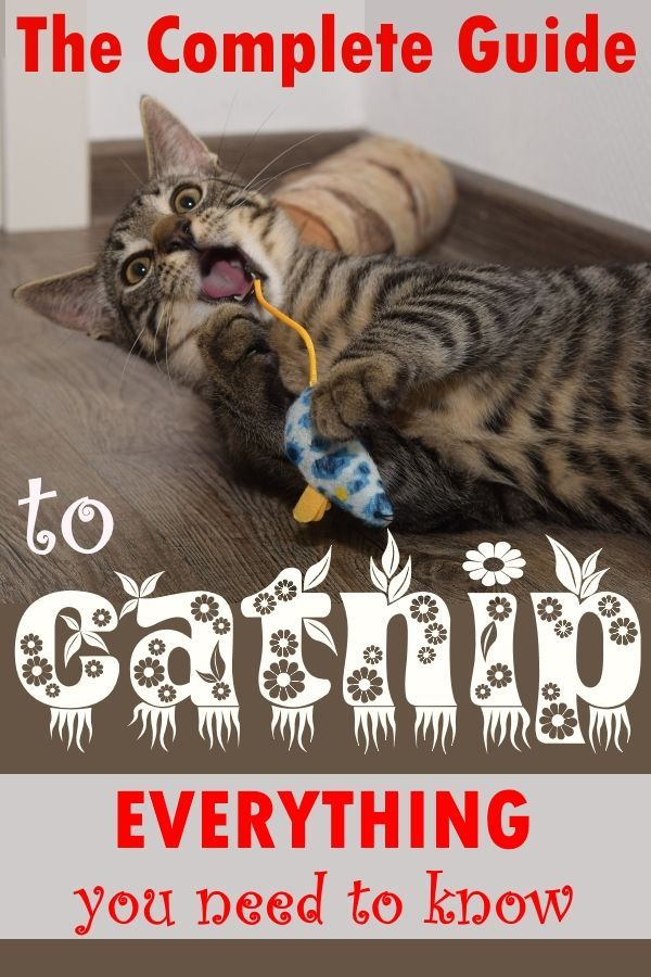 Catnip Drives Cats Crazy But What Is Catnip Why Do Cats Love Catnip The Answers To These Questions And Many More Can Be Found Right He Cat Love Catnip Cats