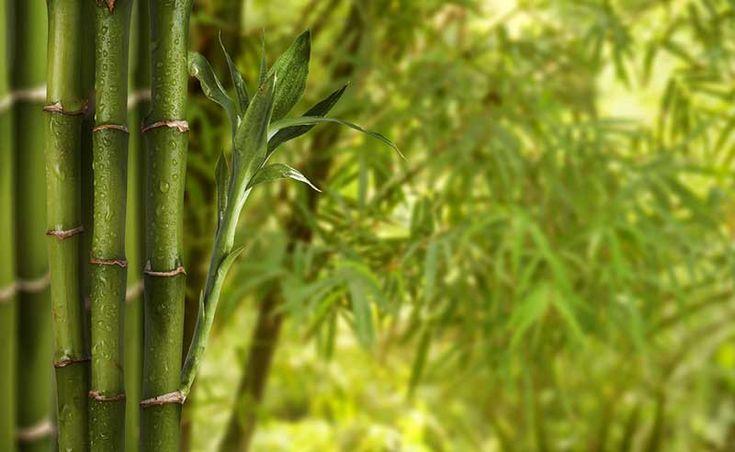Uniquement les 25 meilleures id es de la cat gorie haie bambou sur pinterest - Achat bambou en ligne ...