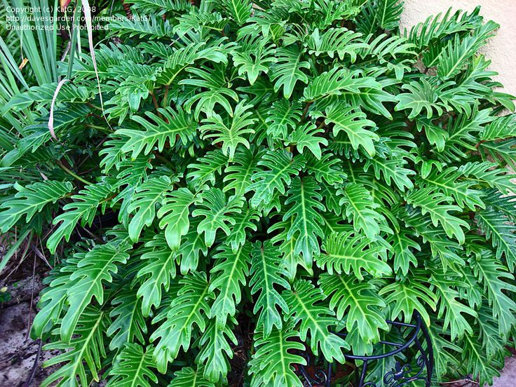 Philodendron Xanaduis a nice shrub you can add