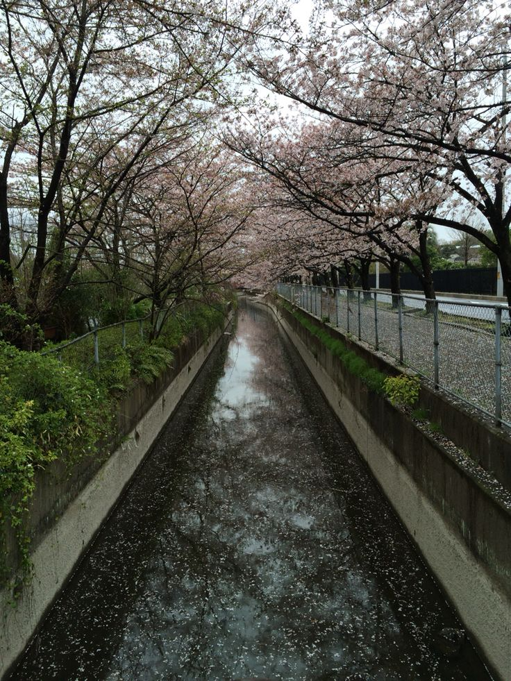 cherry blossoms and creek in Japan