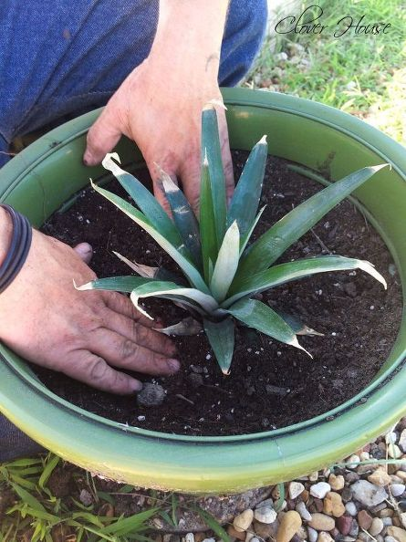Planting a Pineapple Top