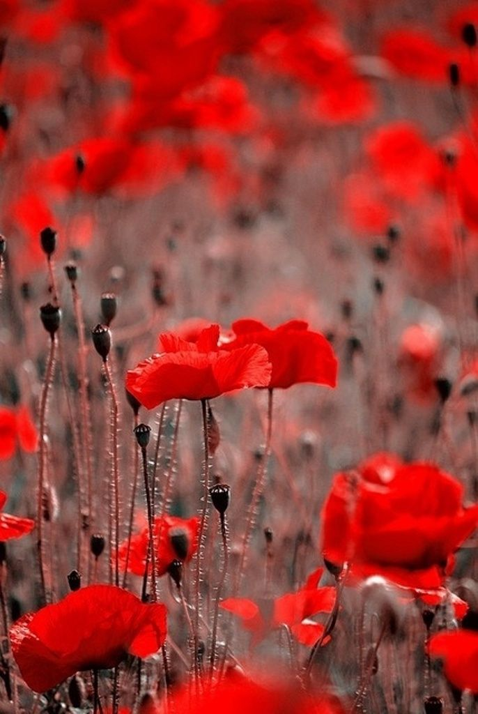 Envie de Fraises ♡ Red poppies Beautiful