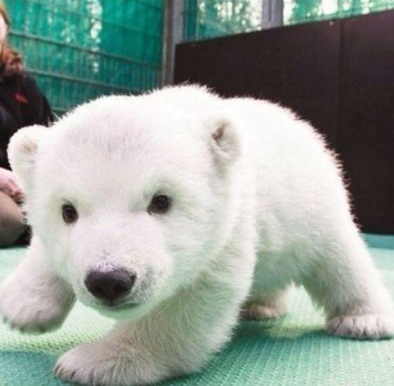 Cute baby animals. Polar bear cub. Repinned from Vital Outburst clothing vitaloutburst.com