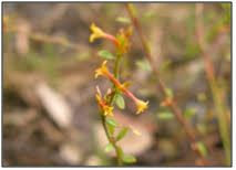 Image result for pimelea curviflora var. curviflora