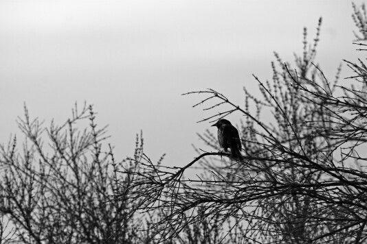 Tordo #avesdechile #birdwatching