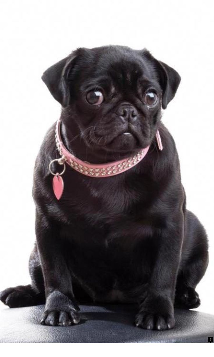 Discover More About Pug Puppies Price Check The Webpage To Read