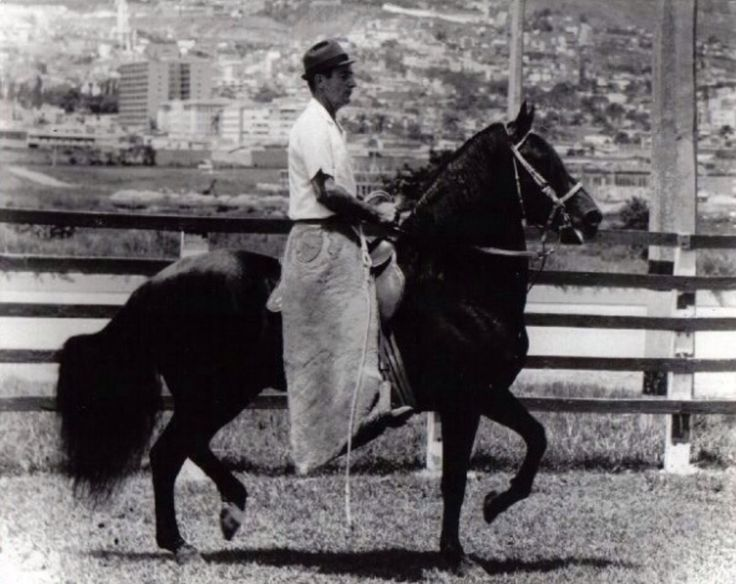 RESORTE III. At the time of the picture was owned by Enrique Vasquez. The breeder was Ruben Brion. Purchased by Fabio Ochoa R. And then was sold it to Enrique Vasquez. In 1969/1970 was purchased by Raffi Rivera from Puerto Rico. Right there is when the paso fino Colombiano open doors to Puerto Rico, Dominican Republic and the USA. RESORTE III is the most important foundation Sire of all times.