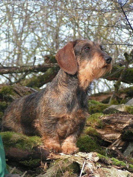 Wire haired Dachshund.