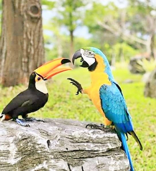 source : pappagallinelmondo.it   toucan et perroquet