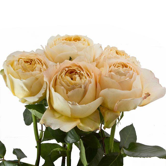 408 best images about roses on pinterest rose varieties garden roses and green rose - Rose cultivars garden ...