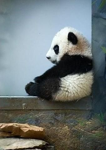 cute: Pandas Baby, Babies, Baby Pandas,  Pandas Bears,  Ailuropoda Melanoleuca, Baby Animal, Pandabear,  Coon Bears, Giant Pandas