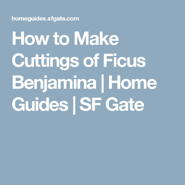 How to Make Cuttings of Ficus Benjamina | Home Guides | SF Gate
