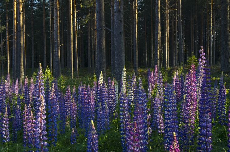 Lupinus, photo Sophia Callmer