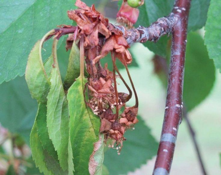 Évek óta küzdenek a kertészek a csonthéjas gyümölcsfák monília fertőzése ellen, több-kevesebb sikerrel.