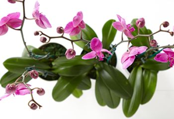 How much water and plant food should you give your orchid? We've got a brilliant orchid care tip, so you give it the right amount every time.