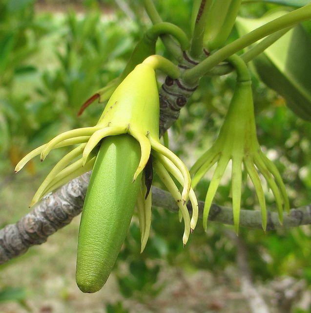 Bruguiera gymnorrhiza 2 by tonrulkens, via Flickr