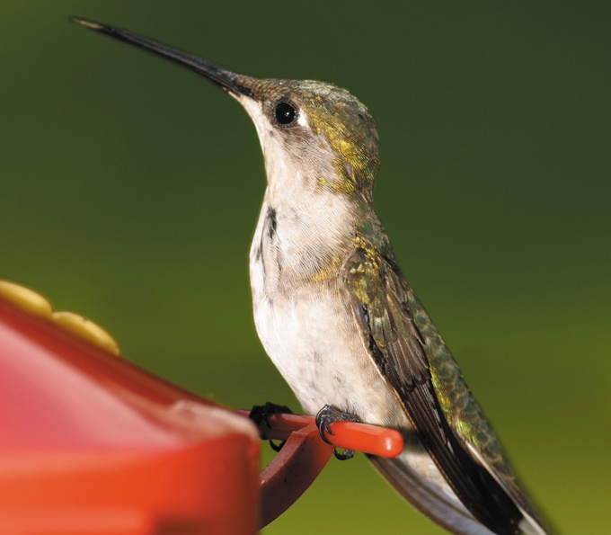 When should you take your hummingbird feeder down? Find out with Farm CarolinaGardens Farmcarolina Com, Gardens Farmcarolinacom
