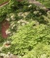 Hydrangea petiolaris (Climbing Hydrangea), If our summer ever gets here, getting ready to pick some beautiful plants.