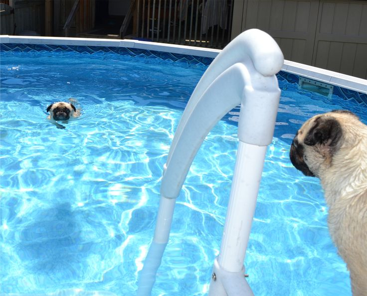 83 Best Swimming Pugs Images On Pinterest Pug Dogs Pug And Pugs