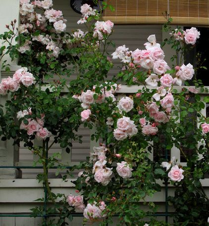Classico Giardino New Dawn (Rose)