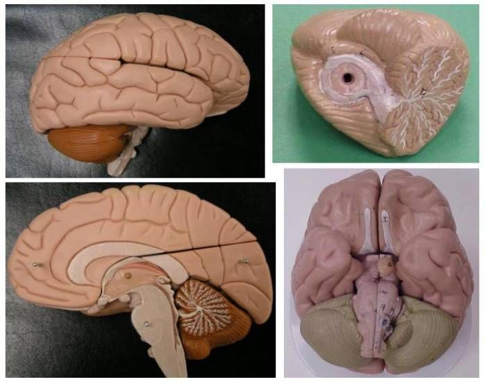This is a quiz called External Brain and Cerebellum Anatomy and was created by…